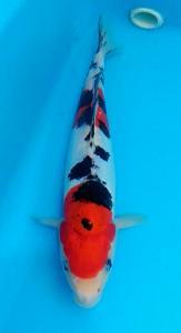 133-Novan AZ-Temanggung-AnimalZone-Temanggung-Doitsu Sanke-27cm-M-081388778433