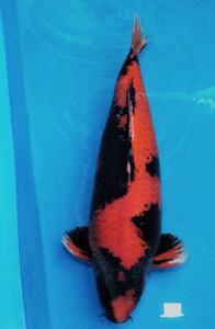679-Rahmat Aji-Yogyakarta-Jokc-Hiutsuri-65cm-male
