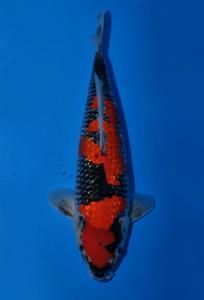 492-Farrel Yonathan-Semarang-Tropikal Koi Centre-Bandung-Kin Ginrin B-41cm-Female