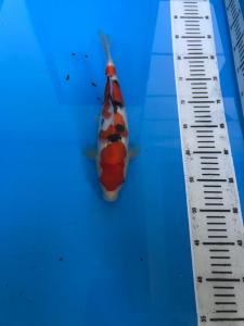 595-Duta-Blitar-ZNA Blitar-Blitar-Sanke-29cm-Female